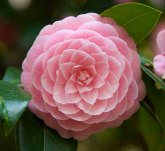 Most perfect Camelia