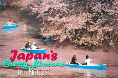 japan-cherry-blossom-in-photos-sakura