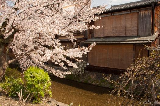japan-cherry-blossoms-sakura-3200