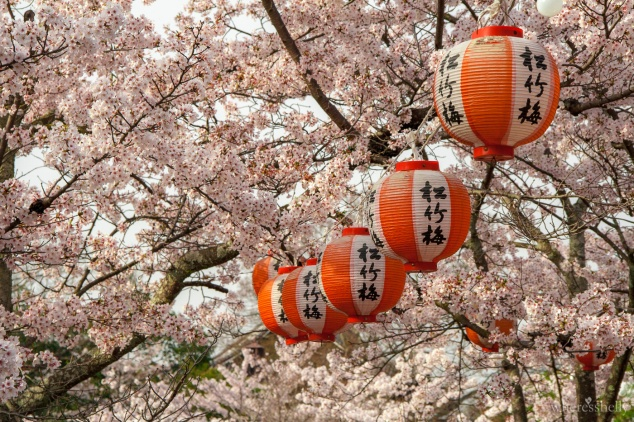 japan-cherry-blossoms-sakura-3490