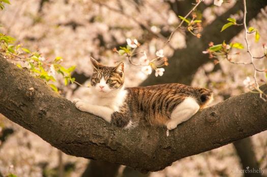 japan-cherry-blossoms-sakura-3526