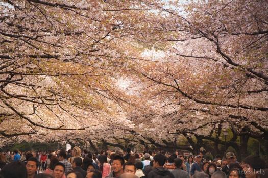 japan-cherry-blossoms-sakura-3537
