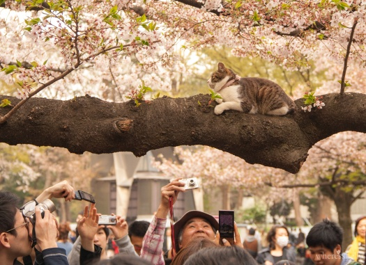 japan-cherry-blossoms-sakura-3573