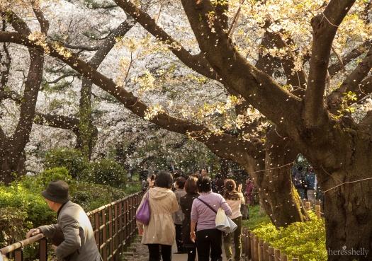 japan-cherry-blossoms-sakura-3704